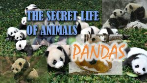 'Dedham's Got Talent': Segment on panda bears, title card created by Nick Iandolo.